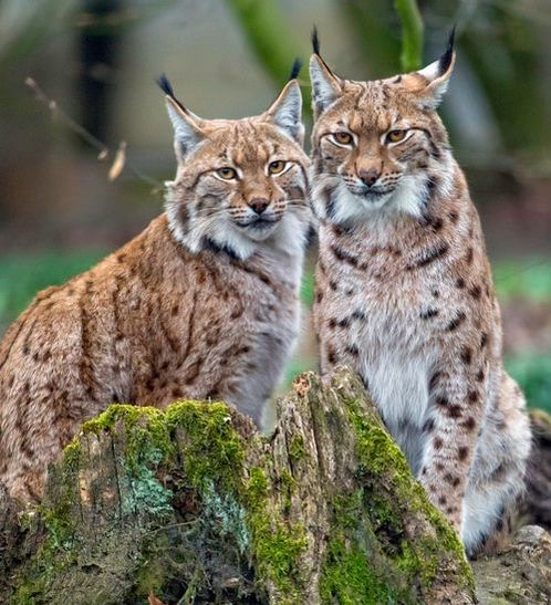 Lynx pair by Tamboko the Jaguar.  CC BY-ND 2.0